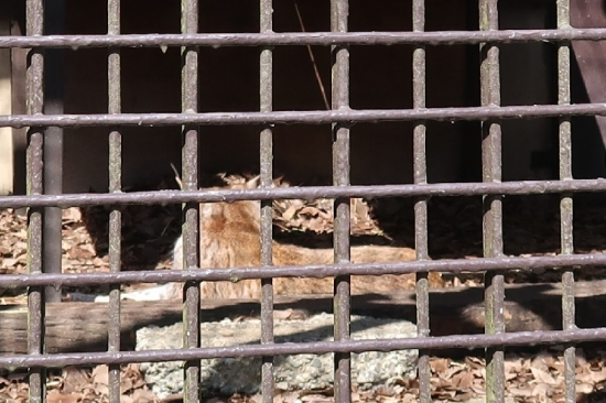 宇都宮動物園 ヨーロッパオオヤマネコ