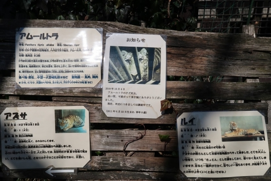 宇都宮動物園 アムールトラ
