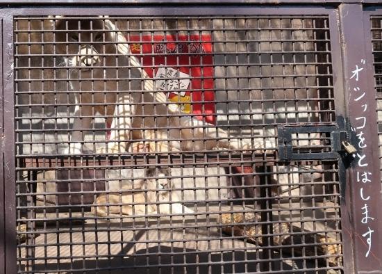 宇都宮動物園 アフリカライオン