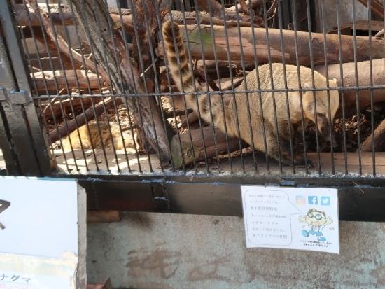 宇都宮動物園 アカハナグマ