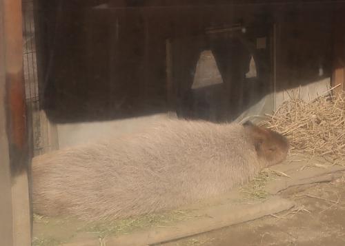 宇都宮動物園 カピバラ