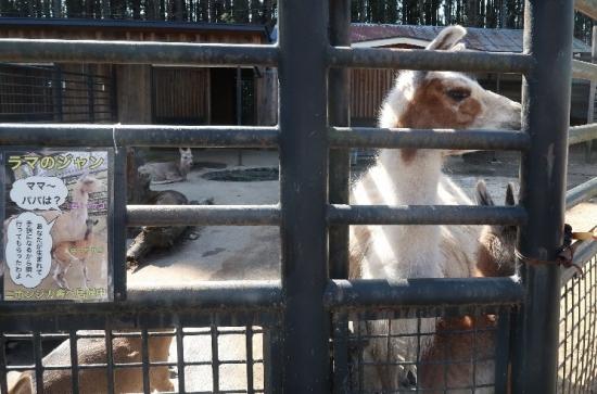 宇都宮動物園 ラマ