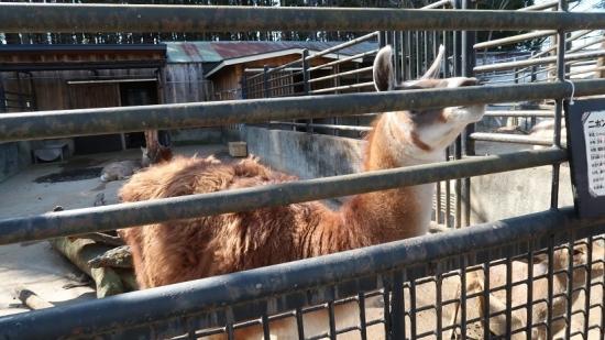 宇都宮動物園 ニホンジカ&ラマのジャンパパ