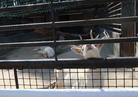 宇都宮動物園 ファロージカ白変種