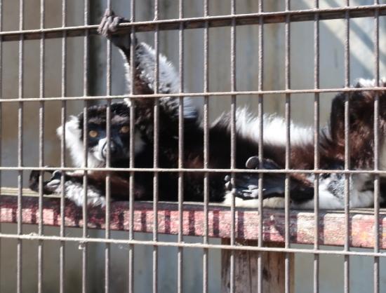 宇都宮動物園 クロシロエリマキレムール シロテナガザル