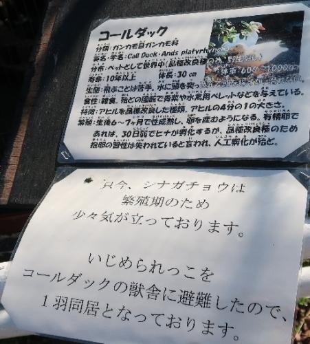 宇都宮動物園 コールダック
