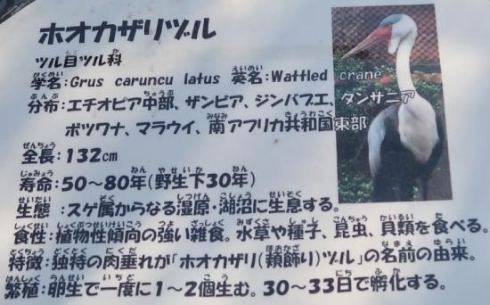 宇都宮動物園 ホオカザリヅル