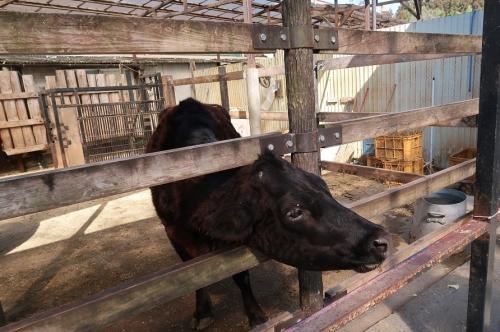 宇都宮動物園 口之島牛