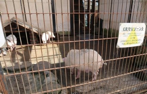 宇都宮動物園 ミニブタ