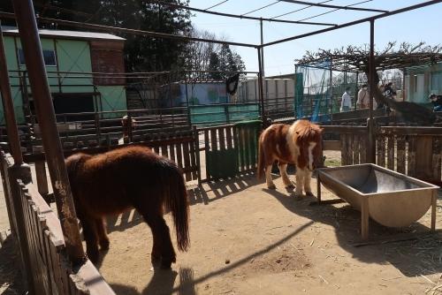 宇都宮動物園 ポニー
