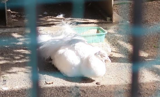 宇都宮動物園 シロクジャク