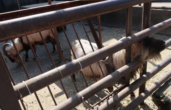 宇都宮動物園 ヤギ