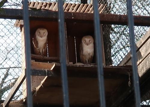 宇都宮動物園 メンフクロウ