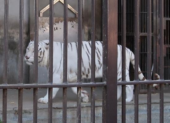 宇都宮動物園 ホワイトタイガー