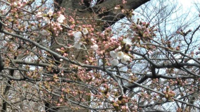 桜開花素振り (1)