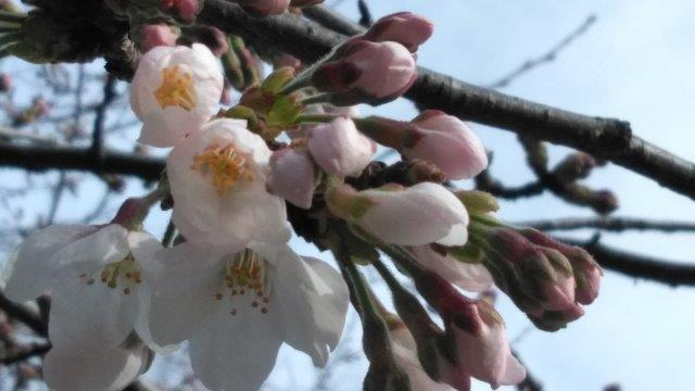 桜開花素振り (2)