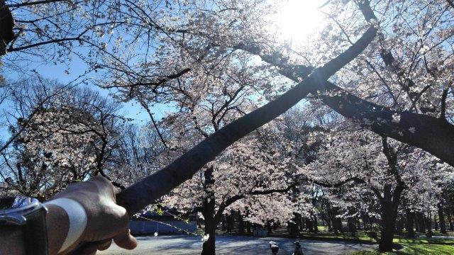 桜の森のコロナ (1)