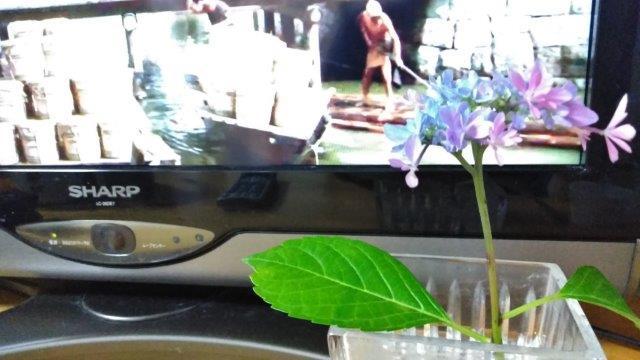 テレビと紫陽花