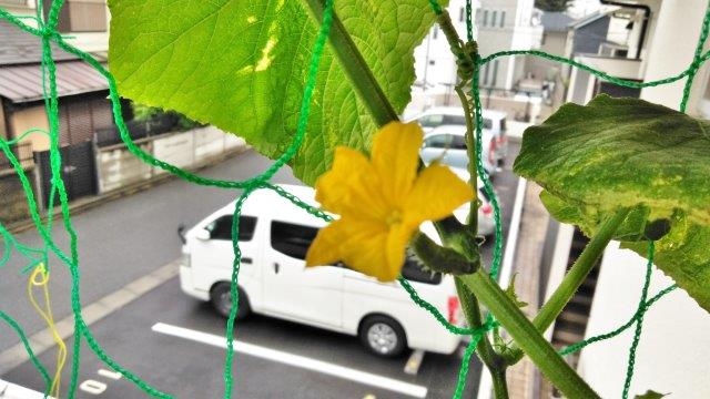 玄関キュウリ花 (1)