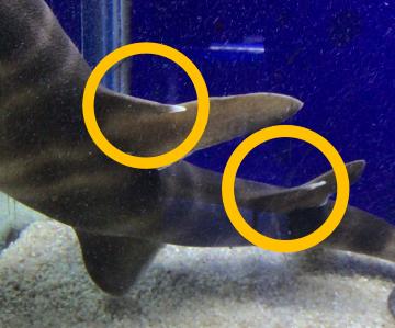 ネコザメ棘 写真2