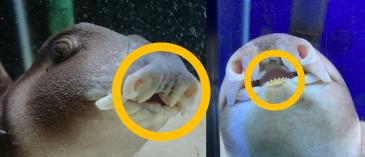 ネコザメ歯 写真5
