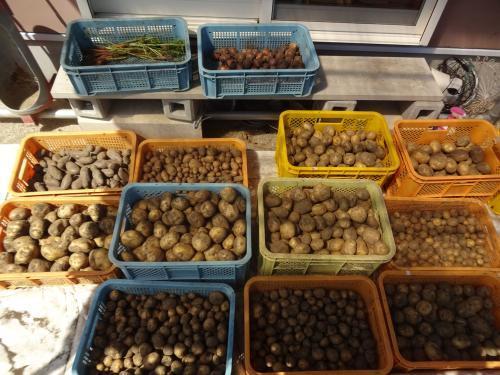 ジャガイモ 収穫です!