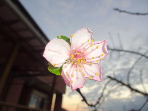 アーモンドの花!