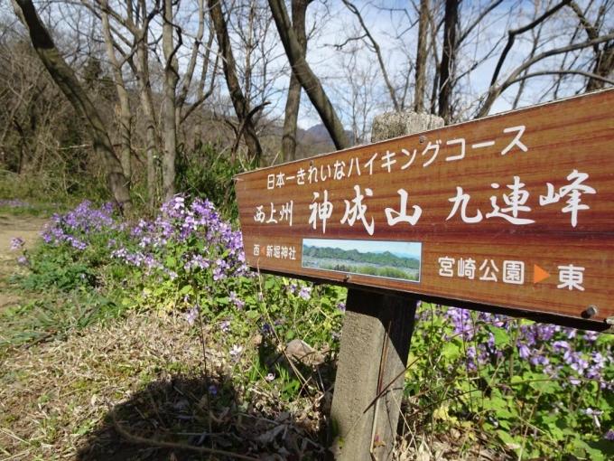 ムラサキハナナ咲く道