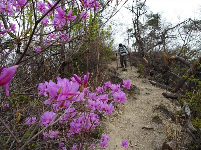 ミツバツツジ咲く稜線道
