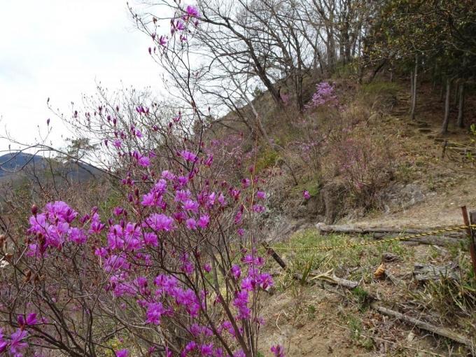 ツツジ咲く吾妻山へ