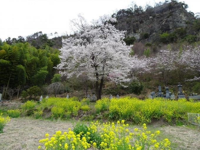 菜の花、桜、岩峰