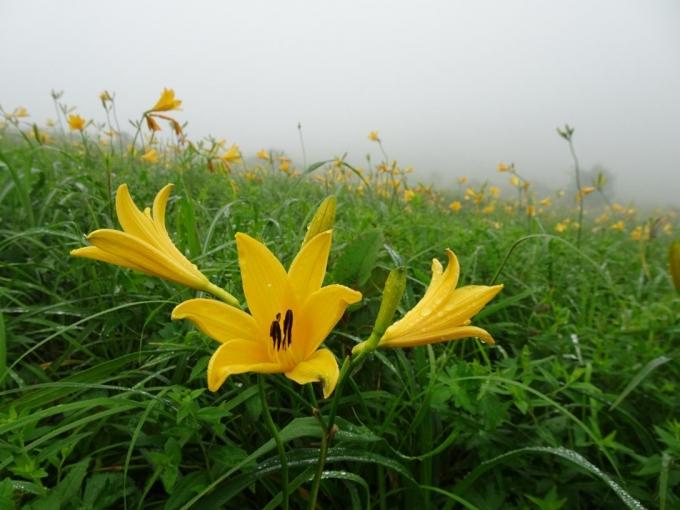霧の中のノゾリキスゲ1