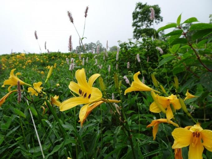 池平の花畑