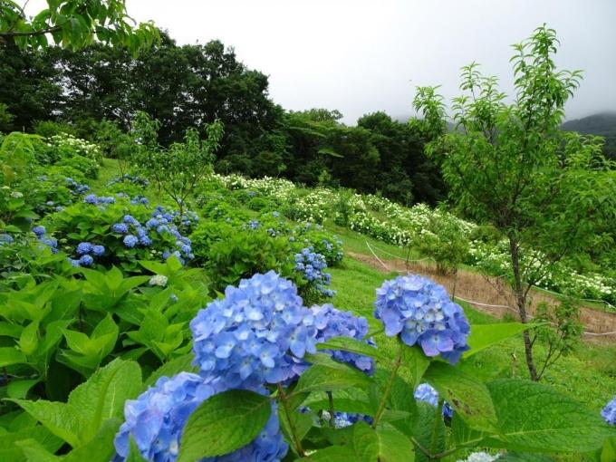 最上部はアジサイ園3、花桃には実が