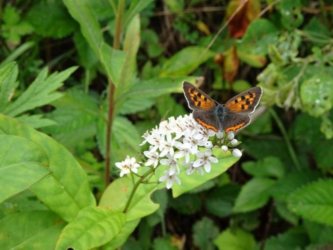 オカトラノオに蝶