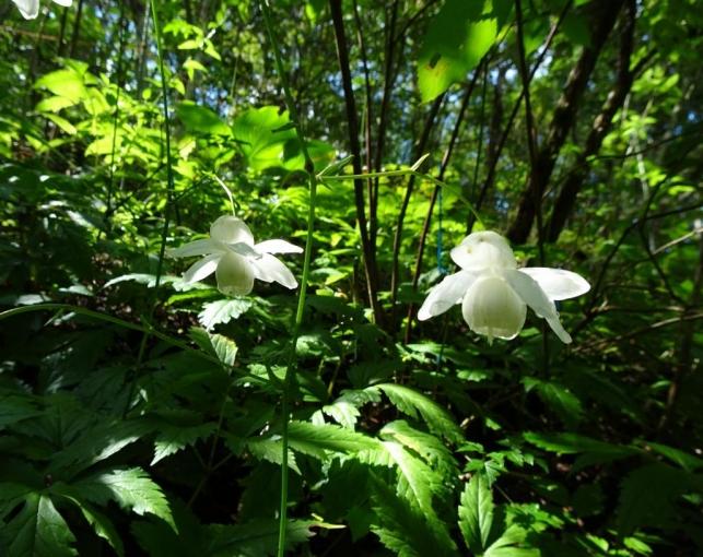 レンゲショウマ(白花)