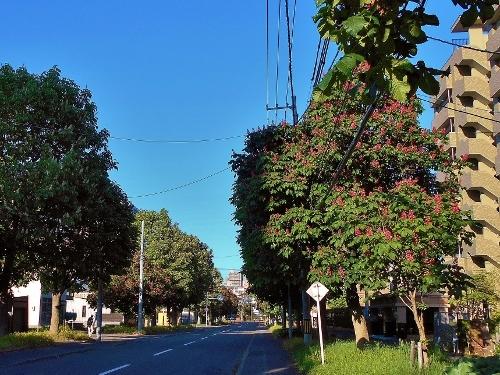 北4条線 ベニバナトチノキ並木