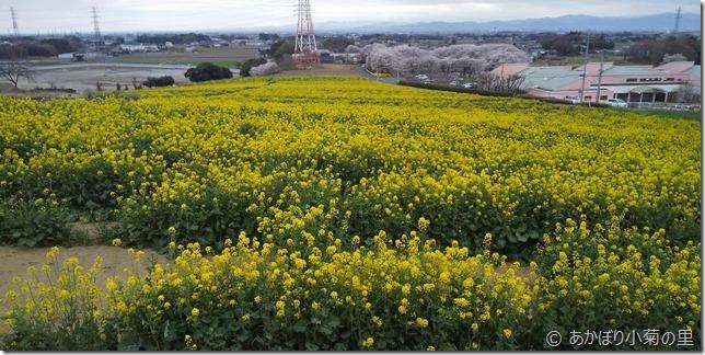 小菊の里、菜の花と桜のコラボ見頃 (R02/03/28)