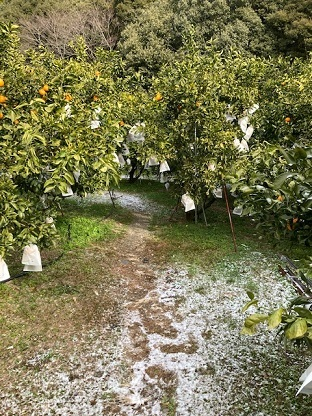 デコ畑の雪