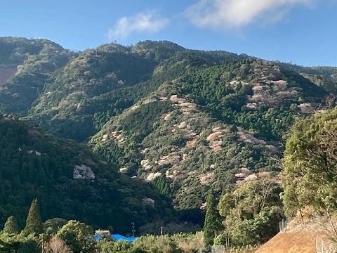 山桜遠景2