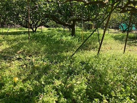 草刈り前草 (1)