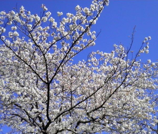 花ブ20200325-7