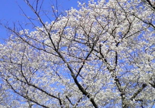 花ブ20200325-12