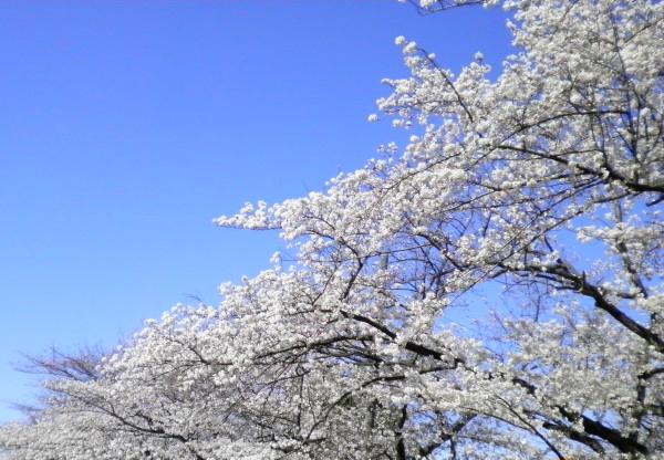 花ブ20200325-16