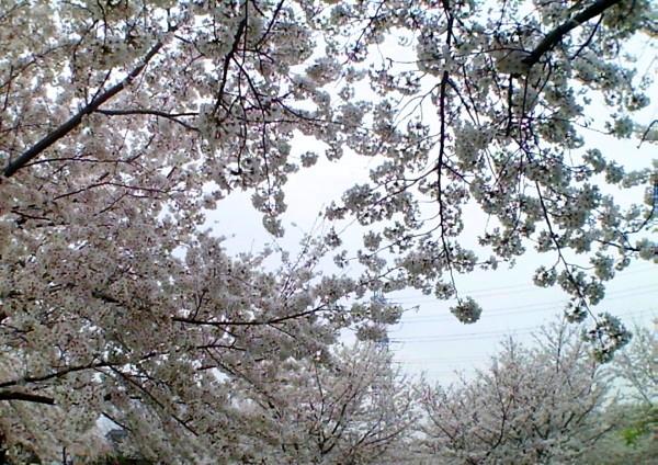 花ブ20200328-2