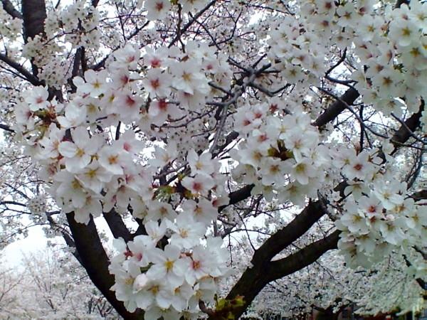 花ブ20200328-4