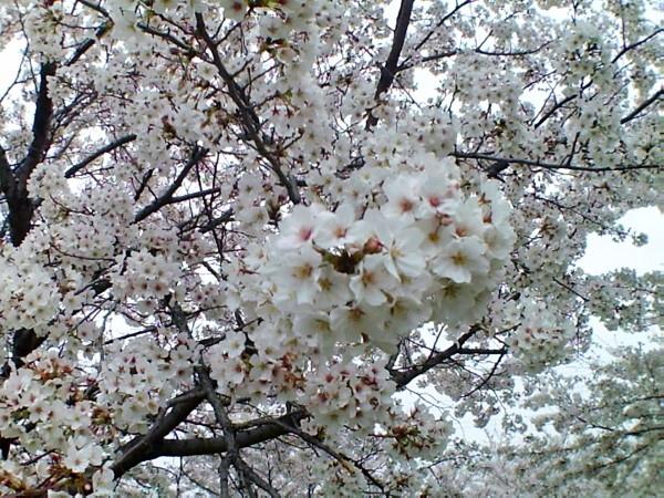 花ブ20200328-5