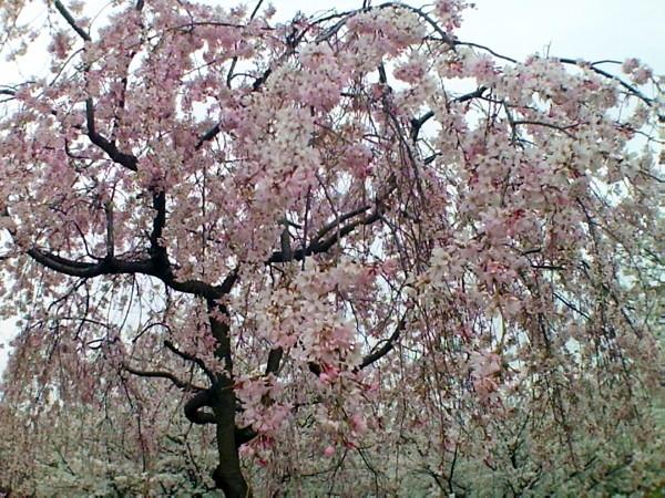 花ブ20200328-8