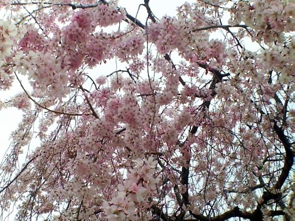 花ブ20200328-11