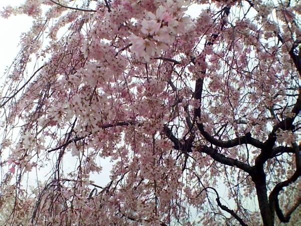 花ブ20200328-12